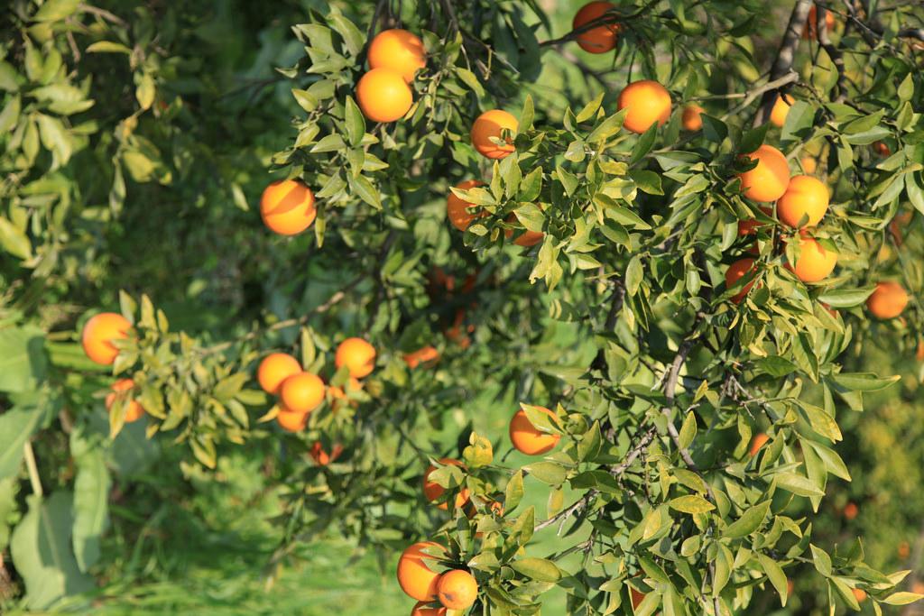 Sunkist Barnfield Navel Orange Medium 5pcs Momobud