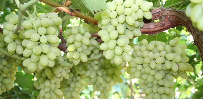 Green Envy Seedless Grapes 1kg Momobud